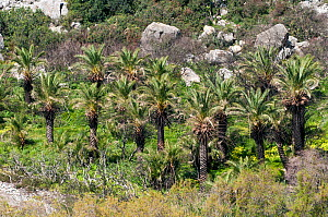 Theophrastus' Palm (Phoenix theophrasti) along the river on Palm Beach near Plakias, Crete, April 2011  -  Paul Harcourt Davies