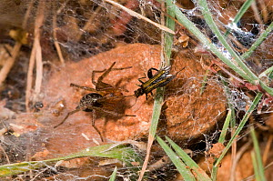 Funnel-web spider (Lycosoides coarctata) with potential prey - a field cricket (Gryllinae) nymph, Gargano, Manfredonia, Puglia, Italy, May  -  Paul Harcourt Davies
