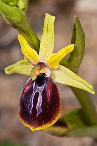 Early Spider Orchid (Ophrys sphegodes ssp cretensis)  flower, Festos, Crete, April  -  Paul Harcourt Davies