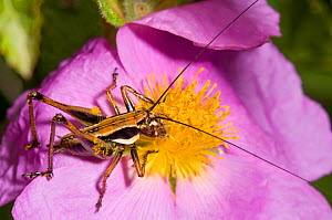 Bush cricket (Decticus albifrons) nymph on Cistus flower, Manfredonia, Gargano, Puglia, Italy, May  -  Paul Harcourt Davies