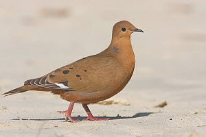Zenaida Dove (Zenaida aurita), St. John, US Virgin Islands, Caribbean  -  Doug Wechsler