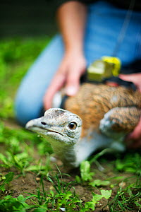 Al Dawes of the Great Bustard Group fitting a radio transmitter to a Great Bustard (Otis tarda) in preparation for release on to Salisbury Plain, Wiltshire, September 2010  -  David Tipling