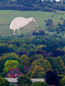 Chalk Kiwi on Beacon Hill above Bulford Wiltshire Kiwi was constructed to commemorate the Sling Camp's First World War New Zealand troop occupation (1919), Wiltshire, UK, September  -  David Tipling