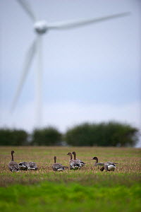 Pink-footed Geese (Anser brachyrhynchus) with wind turbine in background, near Horsey, Norfolk, October  -  David Tipling