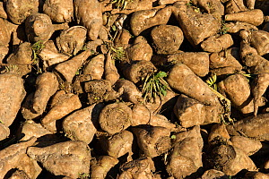 Harvested Sugar Beet (Beta vulgaris) Norfolk, November  -  David Tipling