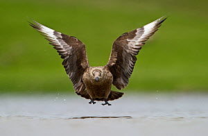 Great Skua (Stercorarius skua) in flight low over water, Fetlar, Shetland, June  -  David Tipling