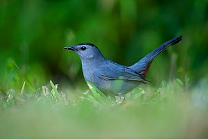 Grey Catbird (Dumetella carolinensis) Florida USA - David Tipling