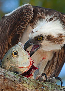 Osprey (Pandion haliaetus) eating fish Florida Everglades, USA - David Tipling