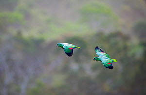 Mealy Parrots (Amazona farinosa) flying above the canopy of the Amazon Rainforest, Tambopata, Peru  -  David Tipling