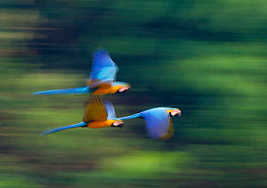 Blue and Yellow Macaws (Ara ararauna) in flight, Tambopata Amazon, Peru  -  David Tipling