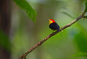 Wire-tailed Manakin (Pipra filicauda) male at lek Nr, Iquitos, Amazon, Peru  -  David Tipling