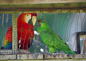 Scarlet Macaw (Ara macao) and Festive Parrot (Amazona festiva), caged, in village on Amazon river. Peru  -  David Tipling