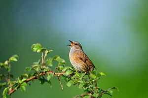 Dunnock (Prunella modularis) in song Norfolk, April  -  David Tipling