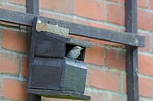 Spotted Flycatcher (Muscicapa striata) at nest box on side of house, Norfolk, June  -  David Tipling
