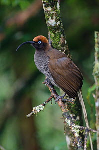 Brown Sicklebill (Epimachus meyeri) female, Kumul Lodge, Western Highlands, Papua New Guinea - David Tipling