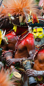 Huli Wigmen from the Tari Valley in the Southern Highlands of Papua New Guinea at performing with drums at a Sing-sing Mount Hagen, Papua New Guinea, August 2011. Wearing bird of paradise feathers and... - David Tipling