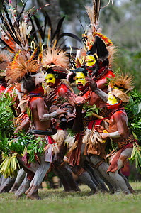 Huli Wigmen from the Tari Valley, in the Southern Highlands of Papua New Guinea, performing  at Sing-sing, Mount Hagen, Papua New Guinea. Wearing bird of paradise feathers and plumes particularly Ragg... - David Tipling