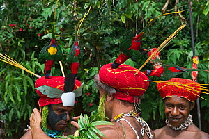 Performers preparing for a Sing-sing at Paiya Show, painting face. Western Highlands Papua, New Guinea. With Papua lorikeets in head dress, August 2011 - David Tipling
