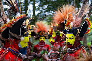 Huli Wigmen from the Tari Valley, Southern Highlands at a Sing-sing Mount Hagen, Papua New Guinea. Wearing bird of paradise feathers and plumes particularly Raggiana Bird of Paradise plumes. August 20... - David Tipling