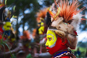 Huli Wigmen from the Tari Valley in the Southern Highlands, Papua New Guinea at a Sing-sing, Mount Hagen Papua, New Guinea. Wearing bird of paradise feathers and plumes particularly Raggiana Bird of P... - David Tipling