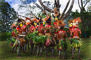 Huli Wigmen from the Tari Valley, Southern Highlands, performing at a Sing-sing Mount Hagen, Papua New Guinea. Wearing bird of paradise feathers and plumes particularly Raggiana Bird of Paradise plume... - David Tipling