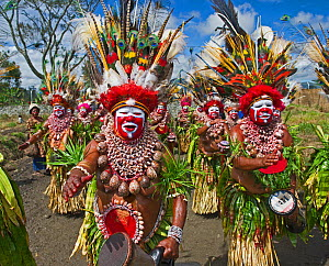 Kunai Sing-sing group from Hagen in Western Highlands playing drums at the Hagen Show Western Highlands, Papua New Guinea. August 2011 Head dress comprised of Papuan Lorikeets as well as many other bi...  -  David Tipling