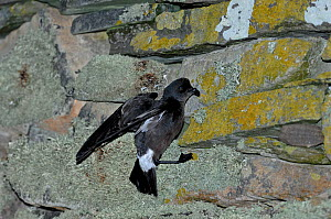 European Storm Petrel (Hydrobates pelagicus)returning to nest on wall of Mousa Broch on Mousa, Shetland, UK, June  -  David Tipling
