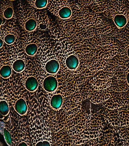Detail of Malaysian Peacock Pheasant (Polyplectron malacense) feathers, captive  -  David Tipling
