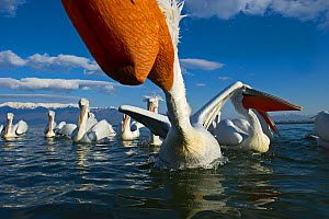 Dalmatian Pelicans (Pelicanus crispus) being fed by fisherman at Lake Kerkini, Northern Greece, February  -  David Tipling