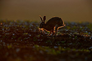 Brown Hare (Lepus europaeus) running, backlit in late evening, Norfolk, May  -  David Tipling