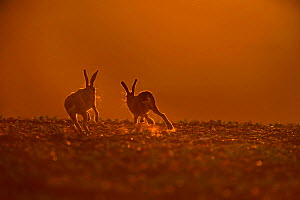Brown Hare (Lepus europaeus) buck chasing doe, in late evening, Norfolk, May  -  David Tipling