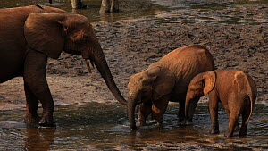 Female African forest elephant (Loxodonta africana cycloti) touching calf's mouth with trunk, before calf departs from mineral hole, Dzanga-Ndoki National Park, Sangha-Mbaere Prefecture, Central Afric...  -  Jabruson Motion