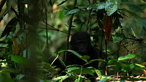Juvenile Western gorilla (Gorilla gorilla) eating leaves, sitting and clapping hands before leaving frame, Bai Hokou, Dzanga-Ndoki National Park, Sangha-Mbaere Prefecture, Central African Republic - Jabruson Motion
