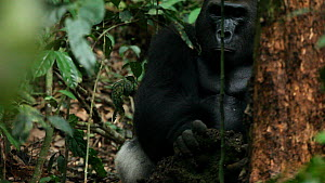 Silverback Western gorilla (Gorilla gorilla) 'Makumba', leader of the 'Makumba' troop, breaking into a termite's nest in order to feed, Bai Hokou, Dzanga-Ndoki National Park, Central African Republic - Jabruson Motion