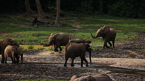 Small group of African forest elephants (Loxodonta africana cuclotis) running into forest clearing, trumpeting to dominant male feeding and cooling down in a mineral pool, Dzanga Bai, Dzanga-Ndoki Nat... - Jabruson Motion