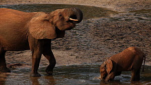Female African forest elephant (Loxodonta africana cyclotis) and calf kneeling and drinking from mineral pool, Zanga-Ndoki National Park, Sangha-Mbaere Prefecture, Central African Republic - Jabruson Motion