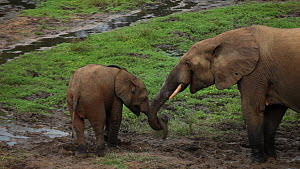Female African forest elephant (Loxodonta africana cyclotis) gesturing at calf with trunk, before lifting calf's trunk and pushing it away, Zanga-Ndoki National Park, Sangha-Mbaere Prefecture, Central...  -  Jabruson Motion
