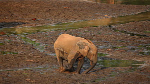 Female African forest elephant (Loxodonta africana cyclotis) digging for minerals in mud, Dzanga-Ndoki National Park, Sangha-Mbaere Prefecture, Central African Republic  -  Jabruson Motion