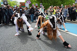 Dancers from the Artful Badger group, dancing in badger costumes, anti badger cull march, London 1st June 2013.  -  Terry Whittaker
