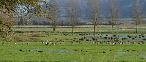 Forty-five adult and juvenile Common / Eurasian cranes (Grus grus) released by the Great Crane Project foraging on flooded pastureland around a grain feeder used to supplement their diet in winter, Al...  -  Nick Upton / 2020VISION
