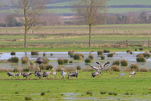 Adult and juvenile Common / Eurasian cranes (Grus grus) released by the Great Crane Project foraging on flooded pastureland around a grain feeder used to supplement their diet in winter, with two danc...  -  Nick Upton / 2020VISION