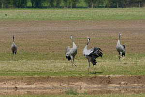 Three year old Common / Eurasian cranes (Grus grus) 'Monty', 'Chris' and 'Ruby', released by the Great Crane Project bugling in unison as Wendy watches, on flooded pastureland, Gloucestershire, UK, Ap...  -  Nick Upton / 2020VISION
