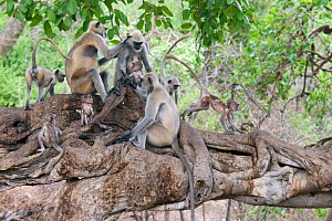 Hanuman / Northern Plains Grey Langur (Semnopithecus entellus) family grooming on the branch of a Banyan tree with youngsters playing around, Ranthambore National Park, Rajasthan, India, June - David Pattyn