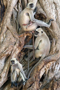 Hanuman / Northern Plains Grey Langur (Semnopithecus entellus) family resting in the roots of a Banyan tree, Ranthambore National Park, Rajasthan, India, jUNE - David Pattyn