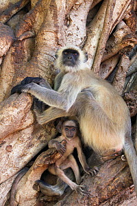 Hanuman / Northern Plains Grey Langur (Semnopithecus entellus) female and youngster resting in the roots of a Banyan tree, Ranthambore National Park, Rajasthan, India, June - David Pattyn