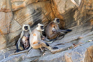 Hanuman / Northern Plains Grey Langur (Semnopithecus entellus) family of three females and three youngsters on a rock wall, Ranthambore National Park, Rajasthan, India, June  -  David Pattyn