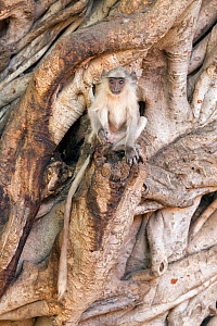 Hanuman / Northern Plains Grey Langur (Semnopithecus entellus) youngster sitting on the trunk of a Banyan tree , Ranthambore National Park, Rajasthan, India, June - David  Pattyn