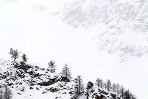 Snow covered mountain slopes with pine trees in Gran Paradiso National Park, Italy, December 2011  -  David Pattyn,David  Pattyn