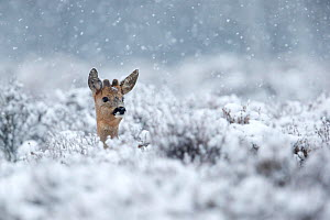 Roe deer (Capreolus capreolus) male in a snowy winter heather landscape during heavy snowfall. Kampina Nature reserve, Oisterwijk, The Netherlands. January - David Pattyn
