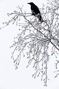 Carrion crow (Corvus corone) sitting on the frozen branches of a birch tree, Kampina nature reserve, Oisterwijk, The Netherlands. January  -  David  Pattyn